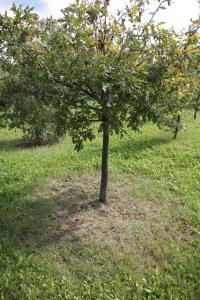 這棵樹四周的土地光脫脫,很可能是黑松露正在地下生長