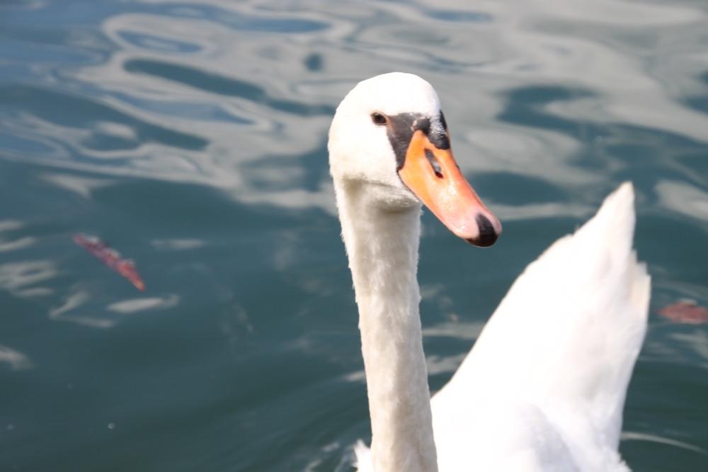 Lake Bled 裡有不少天鵝