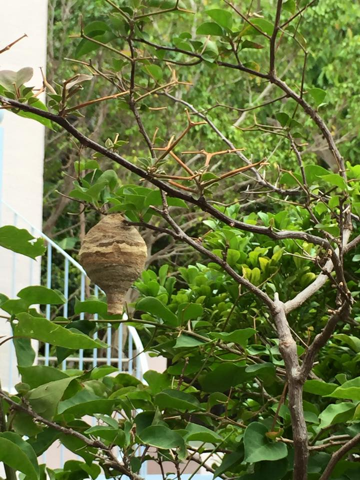 屋企門外剛成形的胡蜂巢