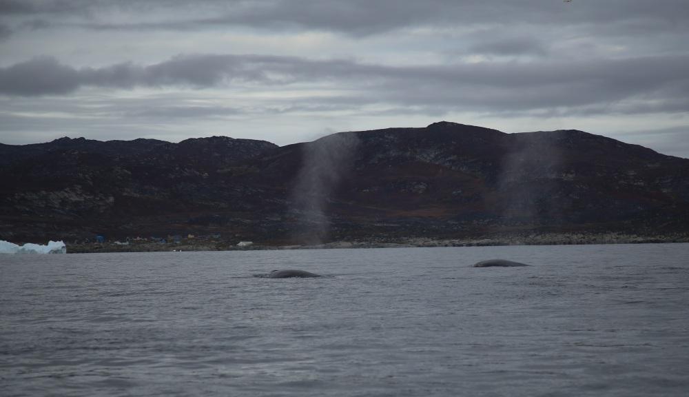 兩條 fin whales 在噴水