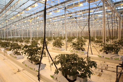 自家種番茄的溫室