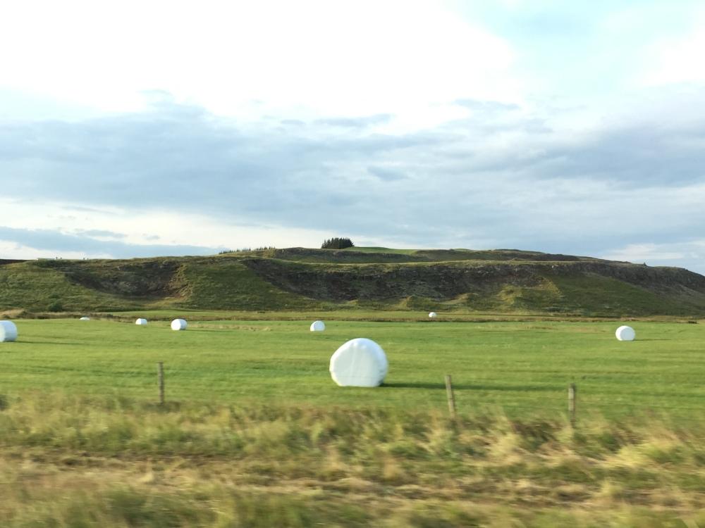 在冰島,四處都會見到這些大大粒的棉花糖!